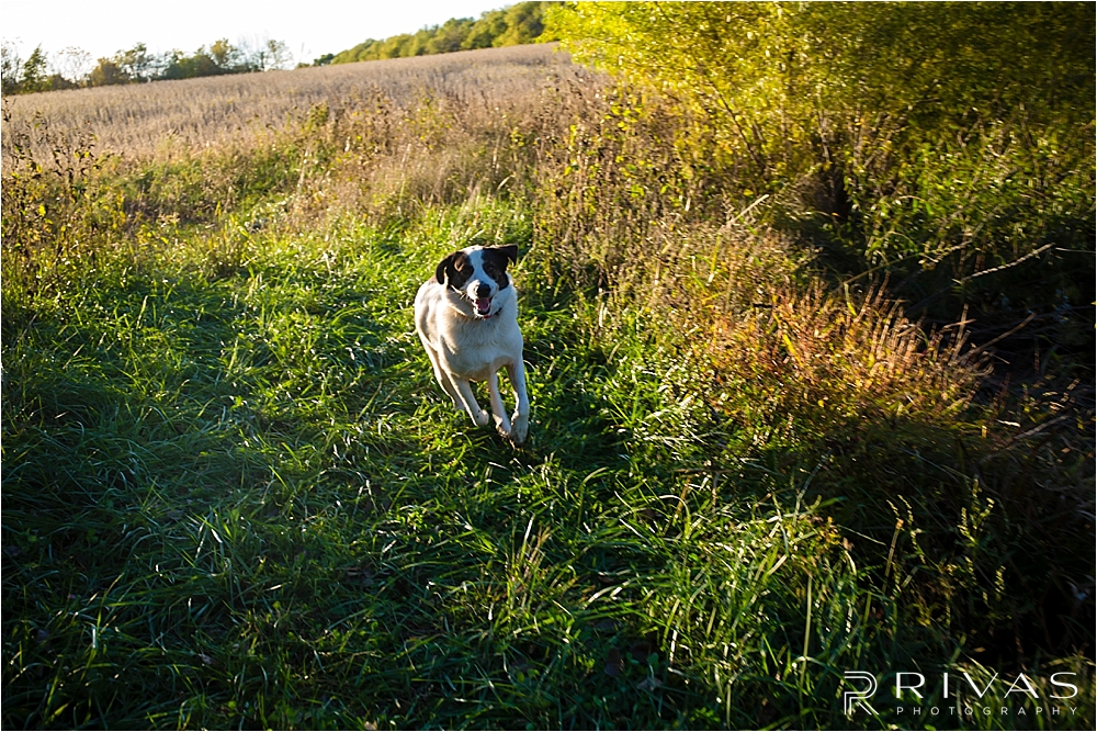 Family Farm Fall Engagement Session | A candid photo of an engaged couple's dog running through the field at sunset.