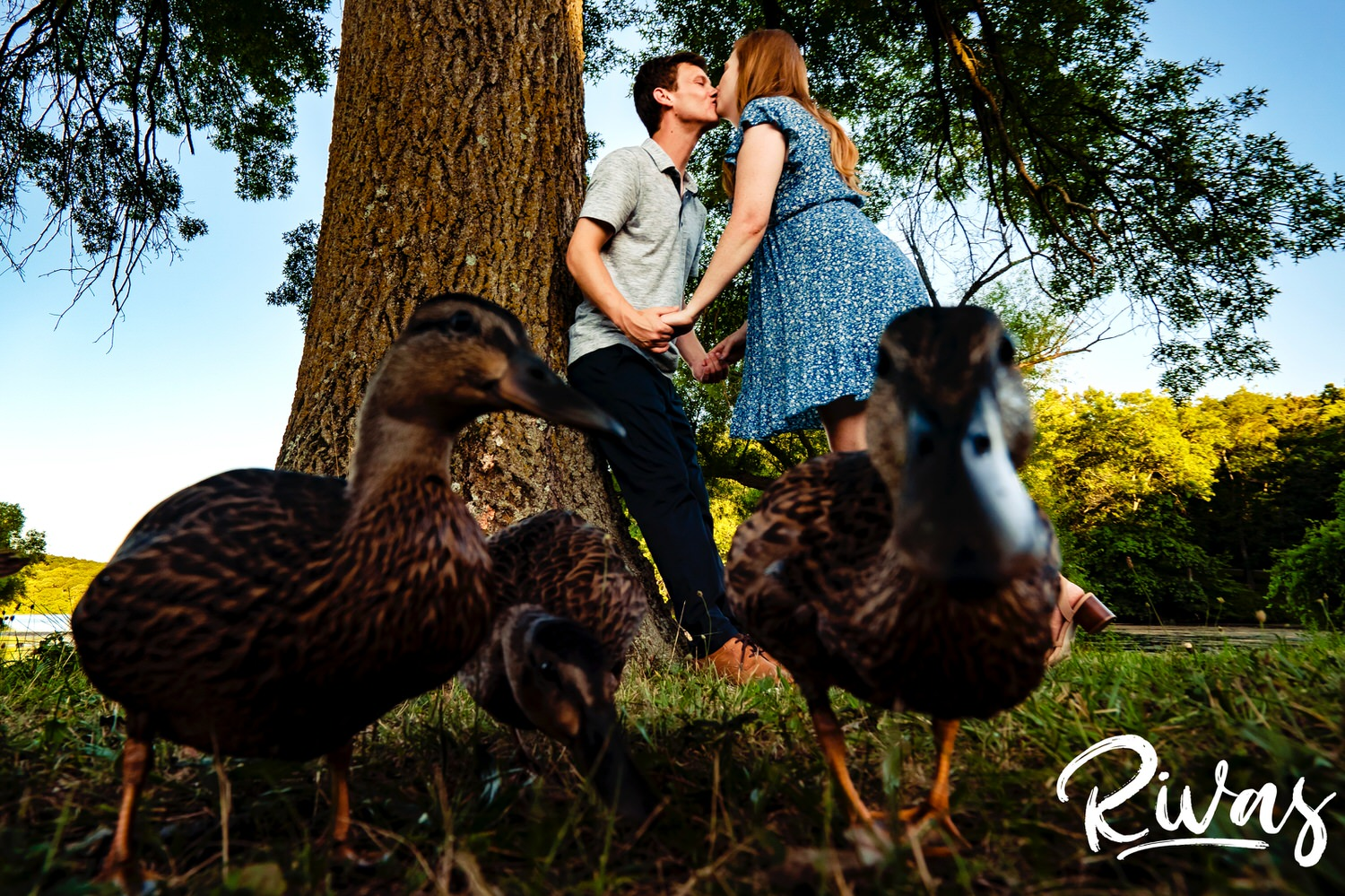 A colorful, candid picture of an engaged couple leaning in to share a kiss underneath a tree as a family of ducks walks in front of them directly towards the camera.
